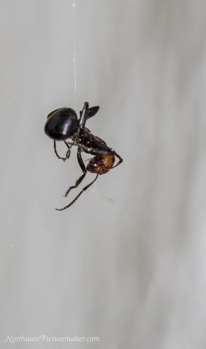 Ant Caught in Spider Web